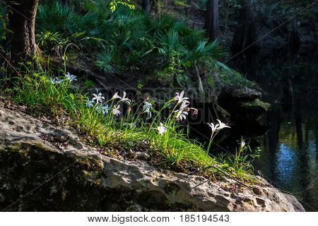 White Easter Lilies growing out of a rock near a spring in Florida.
