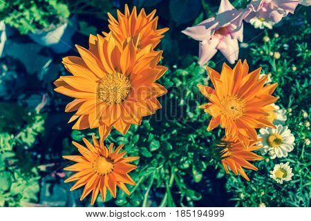 Bright orange Gazania flower of splendens genus asteraceae in daylight.