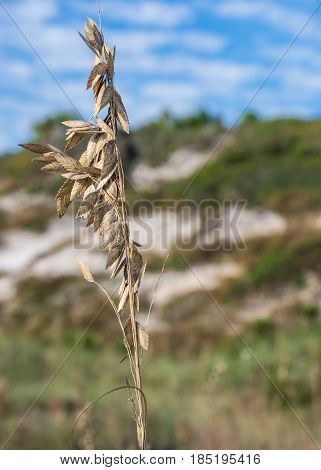 Close-up of Sea Oat with beach sand dunes in Background.