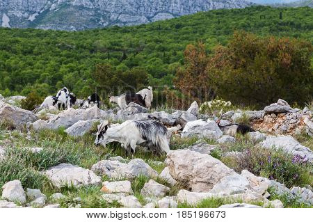 Goats pictured on top of Mount Srd. It's a world apart from the hustle and bustle of the busy historic streets of Dubrovnik just down the mountain slope.