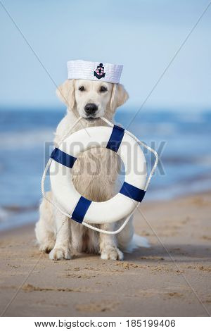 golden retriever dog in a sailor hat holding life buoy on a beach