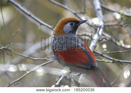 Beautiful Red Tailed Laughing Thrush Bird Trochalopteron Milner Perched In Tree In Spring Sunlight