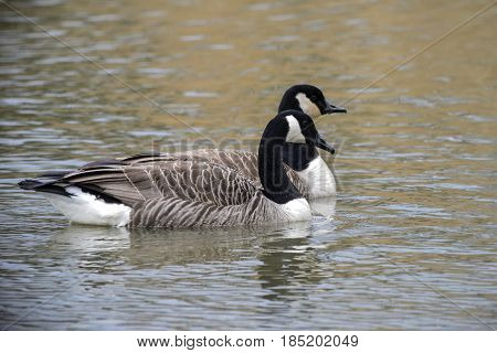 Two Canada Geese Gliding On Water In Spring Branta Canadensis