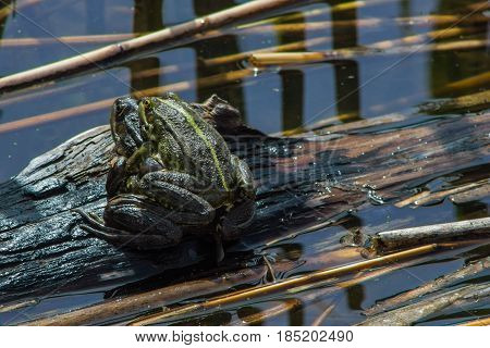 Green frogs mate in swamp, natural background with amphibian