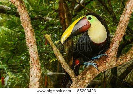 A Chestnut-mandibled Toucan perched on a  branch in Costa Rica