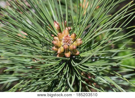 the Beautiful cones on a spruce branch