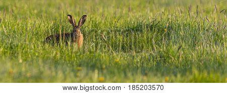 Single Wild Hare Hidden In Spring Green Grass
