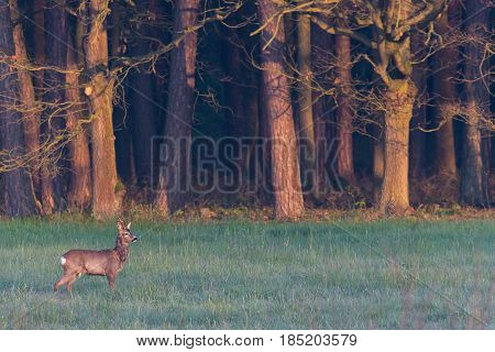 Single Roebuck On Meadow Next To Forest During Hazy Morning
