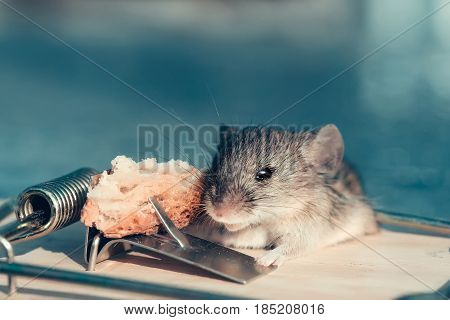 freedom and hopelessness cute house grey mouse or rat small rodent animal sitting at string mousetrap with bait indoors on blurred blue background. marketing and crisis