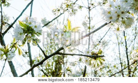 White fresh and fruity spring blossoms in the trees of an orchard. Fruit tree with blossom of cherry or apple in a sunny scene
