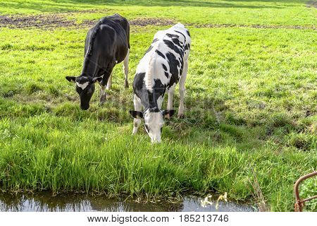 Grazing cows along the ditch side. Young farm animals graze in the wieland of fresh fresh spring grass along the waterfront and look curiously in the camera