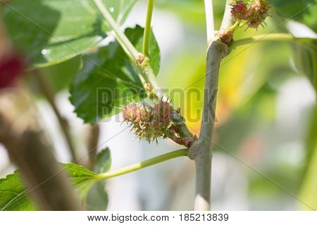 Selective focus of mulberry on tree. Young mulberry on tree and blurred in the background.