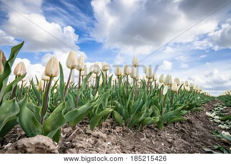 Stock photo flowers bulb fields in the Dutch landscape. Beautifully colored tulips in the far-reaching lowlands of the Netherlands. The most famous export product in the Netherlands next to cheese