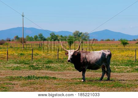 Maremmana breed cow on pasture in southern Tuscany, Italy, toned image