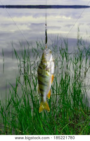 Freshly caught freshwater perch hanging on a leash above the surface of the water