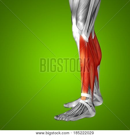 Concept conceptual 3D illustration fit strong front lower leg human anatomy, anatomical muscle isolated grenn background for body medical health tendon foot and biological gym fitness muscular system