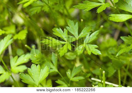 Macro view of fresh green parsley leaves
