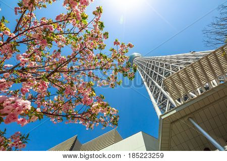 Tokyo Skytree with cherry blossoms in full bloom in Sumida District, Tokyo, Japan. Tokyo Skytree is the tallest tower in the world, broadcasting and observation tower. Blue sunny sky. Horizontal shot.