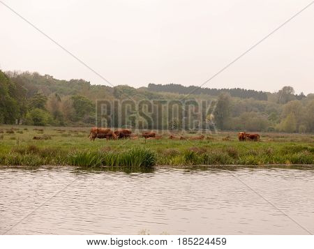Some Lovely Brown Cow Bullocks Outside And Across The River Grazing In Spring Light Cloud
