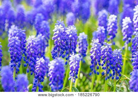 Macro view of blue and purple Muscari or Mouse or Grape Hyacinth flowers with selective focus effect