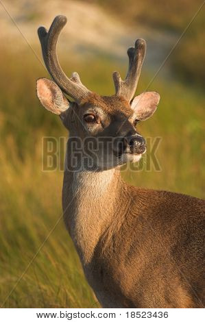 White tailed deer, odocoileus virginianus
