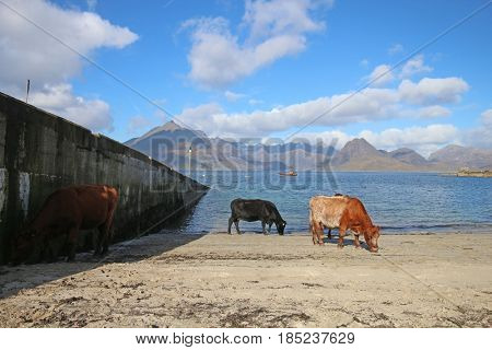 Cows at Elgol, Isle of Skye, Scotland