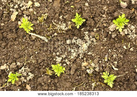 spring sprouts in soil close up photo outdoor