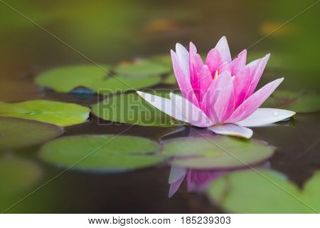 Beautiful pink water lily and leaves in pond