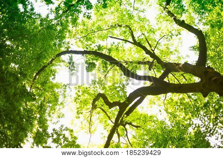 Green Tree branches nature. green leaves in the canopy