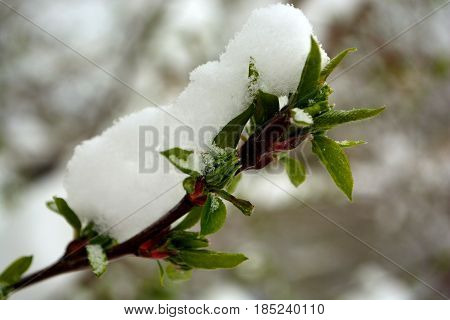 Snow Covered Green Tree Leaf Buds on a Branch