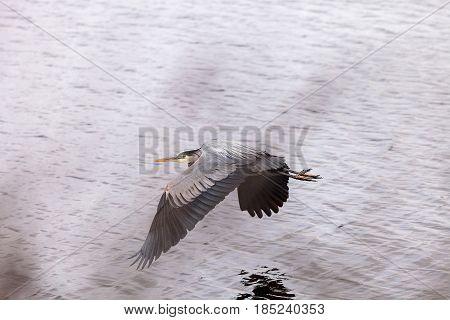 Great blue heron bird Ardea herodias flies over the marsh in Huntington Beach California United States