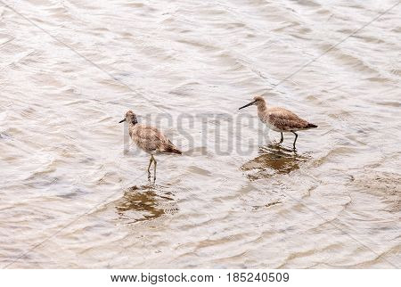 Marbled Godwit Shorebird, Limosa Fedoa