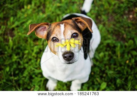 Jack russell terrier Dog on the green background with yellow flower looking at camera. No hay and allergy health care selective focus