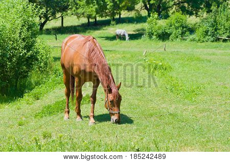 Grazing chestnut mare on a summer pasture.