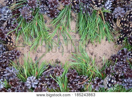 pinecone fresh pine flora food pine needle branch conifer sprout farm tree closeup spring field green nature plant grass garden flower forest  flowers agriculture