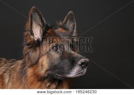 long haired german shepherd Dog Alfie's Portrait on Black Backround