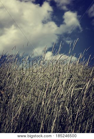 A windy but very beautiful day and the reed stands strong