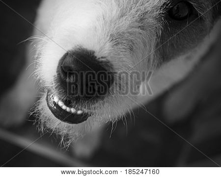 Dog Parson Russell Terrier wants to play!