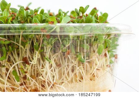 Alfalfa sprouts (Medicago sativa) isolated in white background