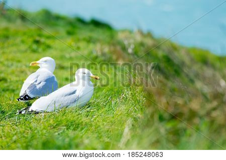 Seagulls On The Grass