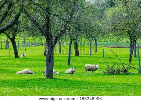 Sheeps Near Trees