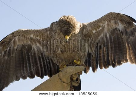 indian tawny eagle perched on glove with wings spread poster