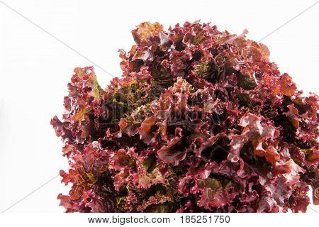 Purple romaine lettuce (Lactuca sativa) isolated in white background