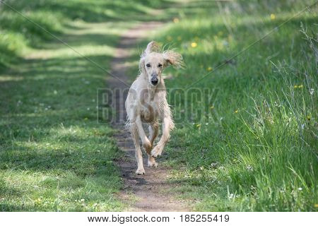 Taigan is a member of the family of Eastern Sighthounds. The Taigan is a very rare dog breed reported about 300 worldwide. Selective focus on the dog