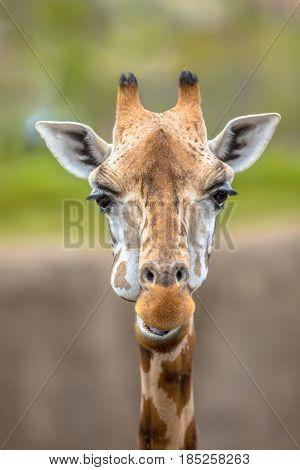 Frontal Portrait Of Southern Giraffe