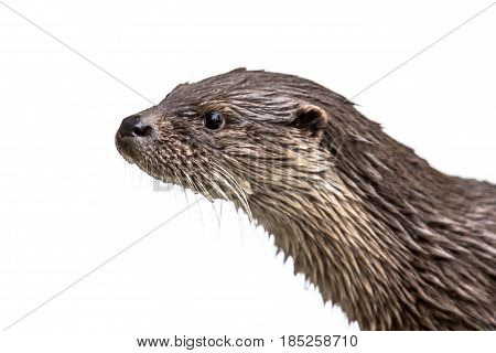 Head Of Otter On White Background
