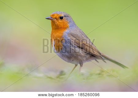 Portrait Of Robin On Bright Background