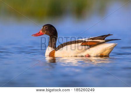 Swimming Female Common Shelduck