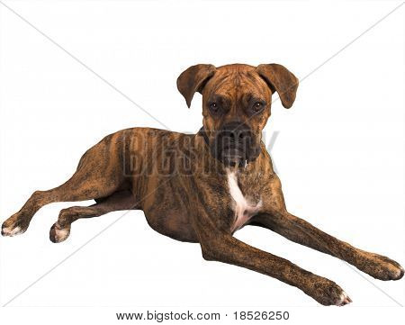 grouchy boxer dog isolated with clipping path
