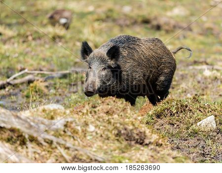 Wild Boar roaming free in a forest in northern Quebec, Canada.
